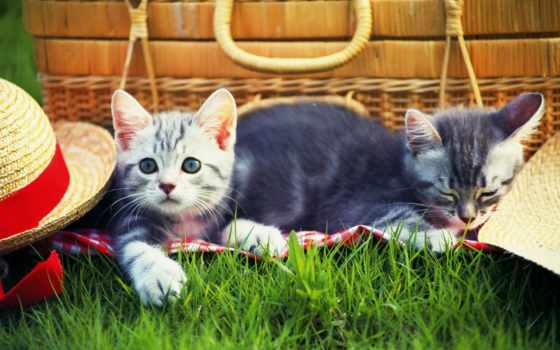 пикник, gato, кот, los, hierba, котенок, шляпа, sombrero, cats, компьютер, шпалери,