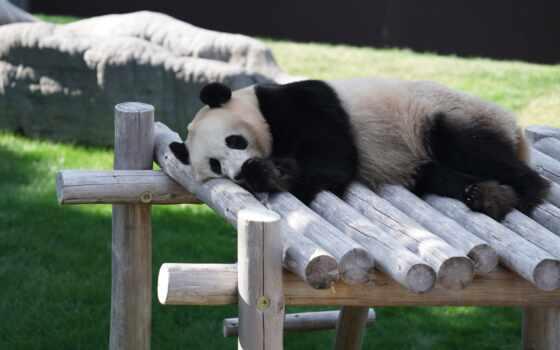 панда, медведь, natural, moderation, гигант, augusta, melanoleuca, ailuropoda, спать, stay