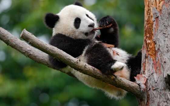 панда, cute, baby, гигант, animal, royalty, zoo, дерево, funny, фото