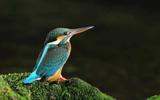 kingfisher, птица