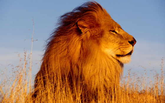 львы, льва, lion