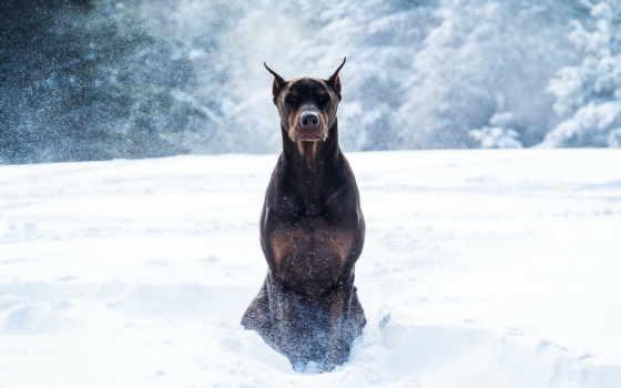 собака, бульдог, снег, зима,