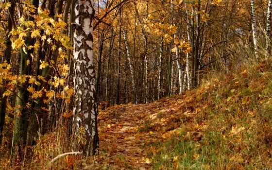 осенняя, discover, листва, осенние, лесу, березы, осень, сказ, лес,