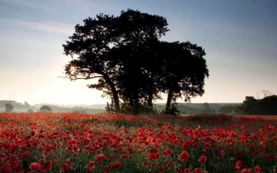cvety, природа, маки, поле, summer, sun,