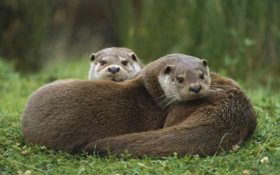 otter, европейская, трава, pair, ложь,