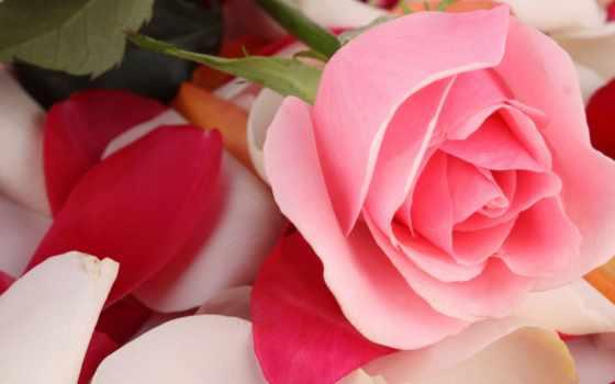 пожелания, роза, розовая, удачи, капли, video, счастья, макро, цветы,