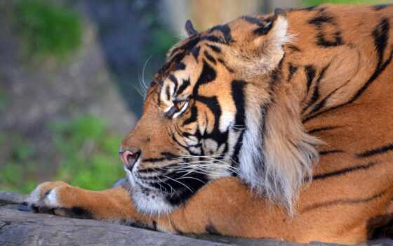 тигр, песочница, animal, siberian, картинка, бенгальский