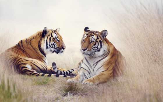 тигр, tigers, lion, free, print, desktop,