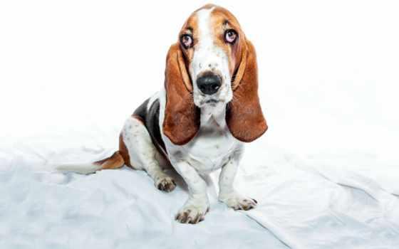 basset, pulpit, tapety, собаки, różne, hound, pobierz, desktop,