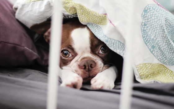 bulldog, french, free