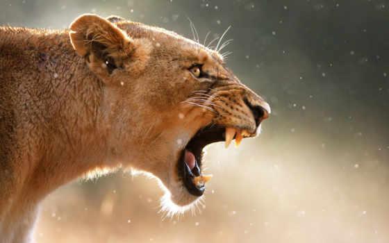 львица, львы, фотографий