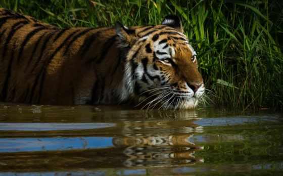 картинка, тигр, смотреть, cats, фон, взгляд, трава, глаза, отражение,
