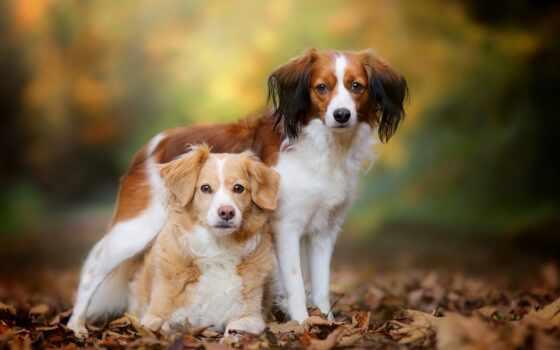 собака, brittany, koikerhonde, ipad, пароль, порода, серьги, морда, french