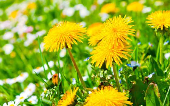 одуванчики, cvety, поляна, желтые, ромашки,