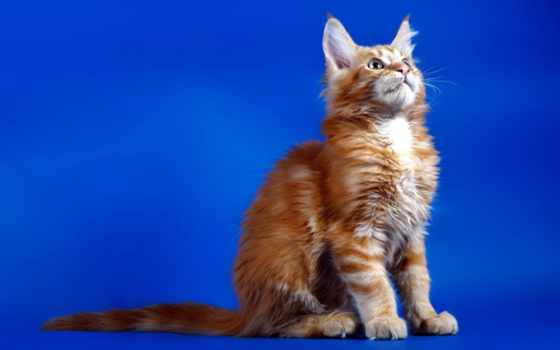 gato, fondos, gatito, кот, pantalla, red, синем, siéntese, котенок, пушистый, fone,