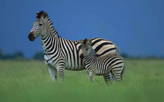 zebra, зебры, животных, зооклубе, детёныш,
