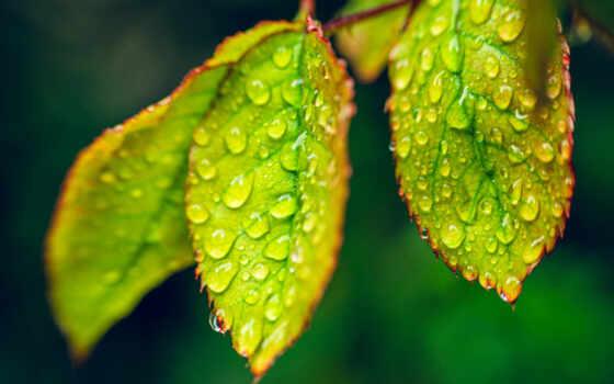 ,,, лист, вода, роса, влажность, капля, цветок, макросъемка,