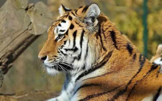 тигр, усы Фон № 19379 разрешение 1920x1200