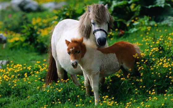 маленькие, лошади, пони