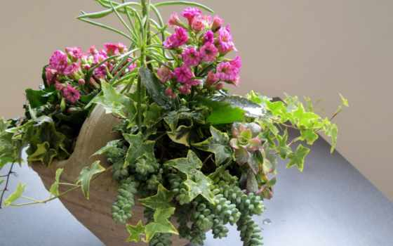 цветы, каланхое