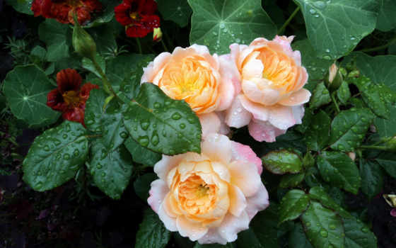розы, cvety, капли