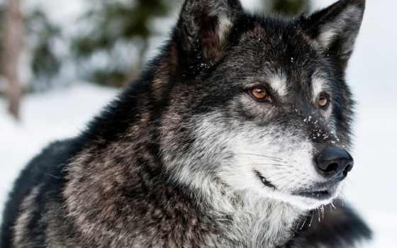 волк, хищник, просмотреть