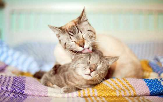 друг, кошки, друга, вылизывают, house, comfort, чистятся, кошек, кот,