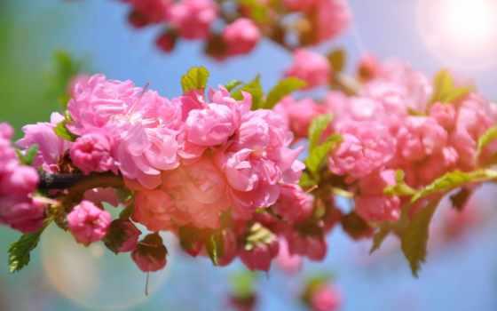 природа, цветы, desktop