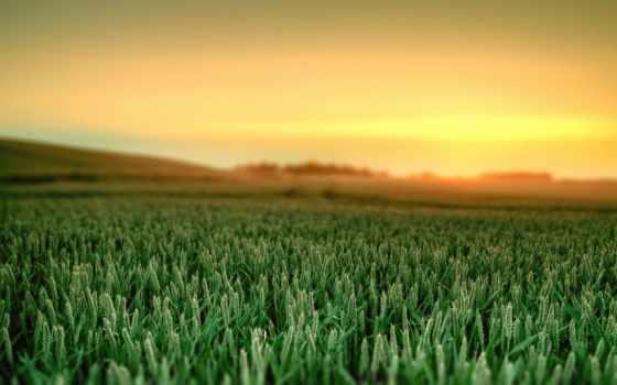 поле, зеленое, пшеница, shoots,