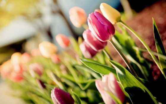 cvety, букет, тюльпаны, макро, tulips, бутоны, качестве, розы, хорошем,