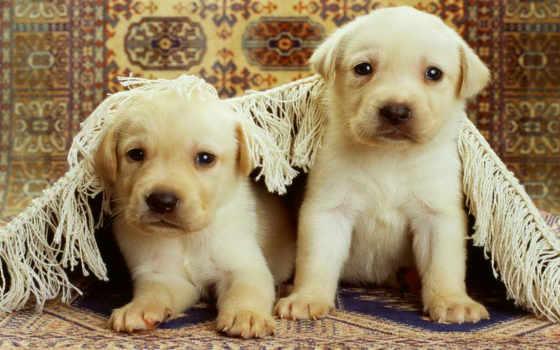 cachorros, labrador, nacidos, perros, los, recién, labradores, para,