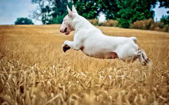 бультерьер, собаки, прыжок, bull, живые, бультерьер, goodfon, zoom, live, дек,