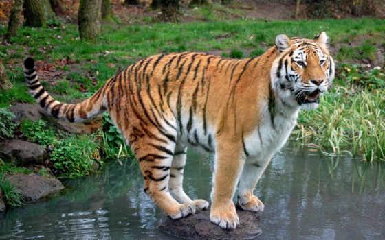 online, камень, тигр, тигры, река, puzzle,