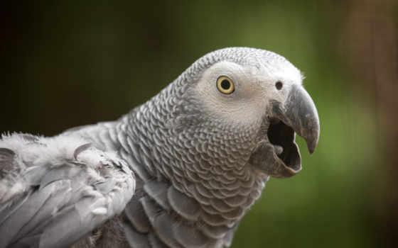 попугай, жако, попугаи, клюв, попугаев, rub, евро, птица, зубы, картинка, добавить,