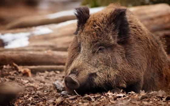 zhivotnye, животных, диких, свинья, красивые, кабана, зайцев, дикие, красивый, животными,