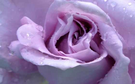 lavender, роза, roses