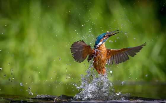 миг, нужный, сделанные, интересные, кадры, water, kingfisher, birds, удачный, ordinary,
