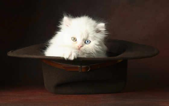 котенок, пушистый, котята, кот, глазами, white, голубыми,