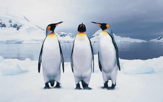 пингвина, есть, пингвинов, колени, ли, пингвин, мар, пингвины,