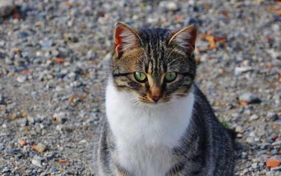 кот, глаз, domestic, animal, short, shorthair, пикси, сладкое, волосы