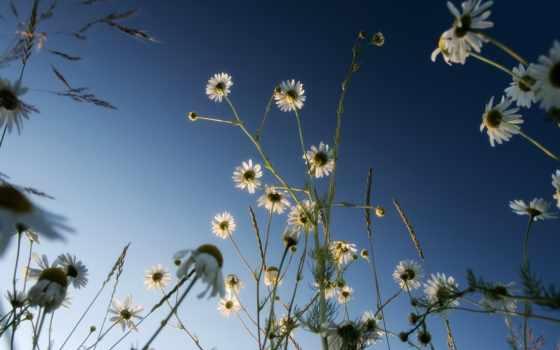 ромашки, небо, цветы