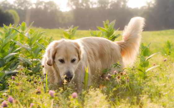 собака, labrador, köpek, summer, поле, собаки, цветы, zhivotnye, retriever,