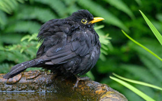 молочница, птица, black
