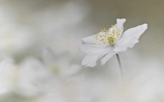 anemone, nemorosa, photos