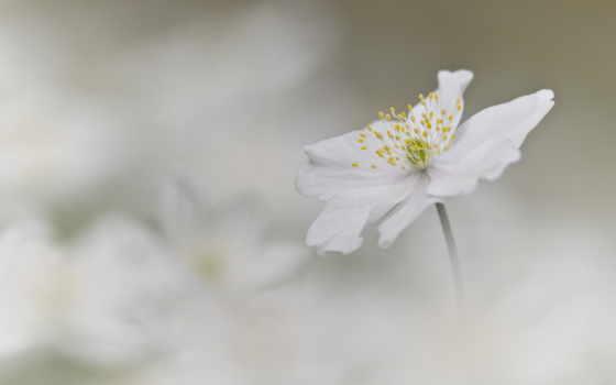 photos, flickr, anemone, nemorosa,