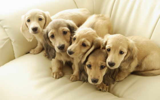 ecran, fonds, dachshund, chien, miniature, золотистый, fond, images, retriever, chiens, gratuits,