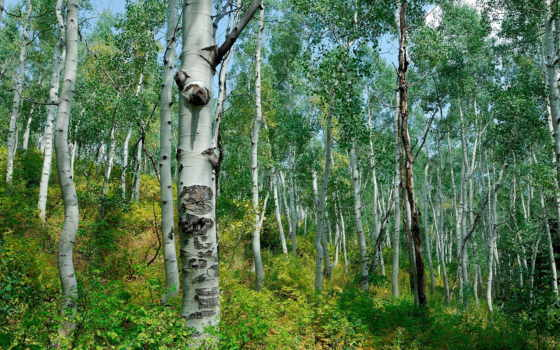березы, лес, природа, кусты, trees, grove, осень, дорога, коллекция, пользователя, лесу,