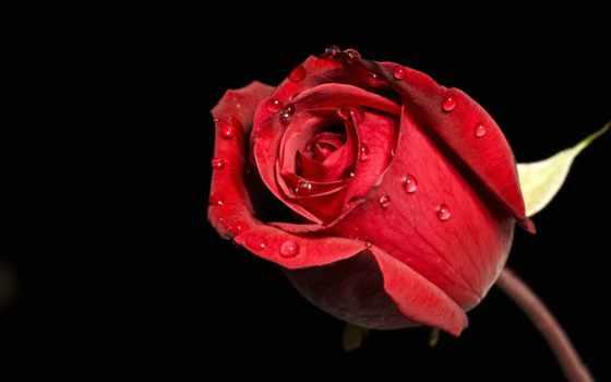 роза, бутон, капли, роса, cvety, розы, roses, pinterest, scarlet,