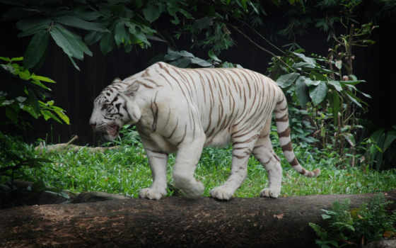 тигр, white, desktop, free, roaring, tigers,