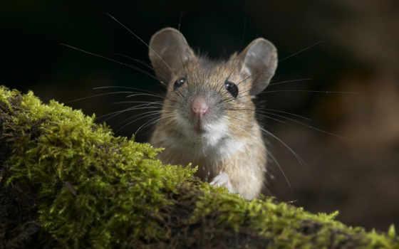 мышь, усатая, мыши